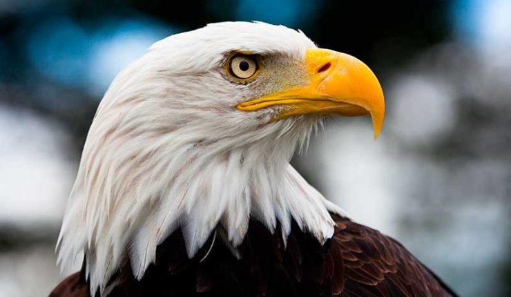 El ataque de un águila real a una niña de ocho años