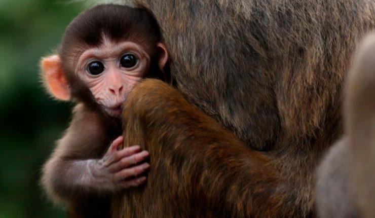 Experimento de genes humanos en monos genera polémica