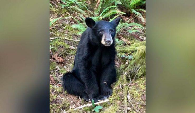 Sacrificaron a oso en EU por seguir a turistas y su comida