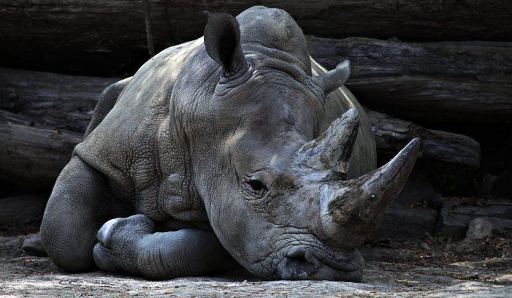 Visitantes de zoológico marcaron sus nombres en un rinoceronte — Indignación en Francia
