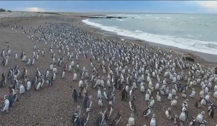 Imagen del día: Población de pingüinos en la Patagonia disminuye dramáticamente