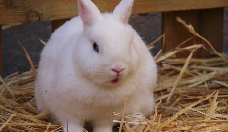 Animalistas Asaltan Granja Para Liberar Conejos Sacaron 14 Y Provocaron La Muerte De Un Centenar De Crías