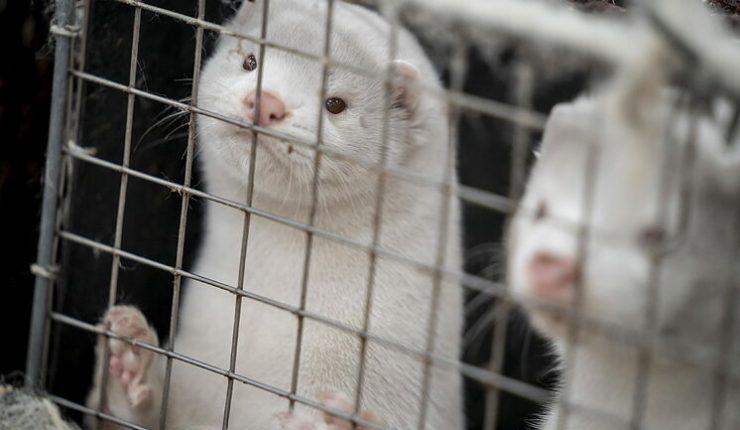 Dinamarca cierra acuerdo legal para permitir sacrificio de visones por  mutación de COVID-19